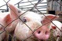 В Калининском районе выявили бруцеллез свиней